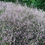 Heather/ Heide, Posbank park, Gelderland