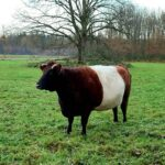 The Dutch Belted cattle breed