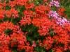 Geranium, Herbeumont, Ardennes
