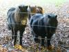 Ponies, the castle of Voorden, Netherlands