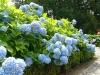 Blue chrysanthemums, Vorden, 7
