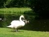 White-swan-Sonsbeek-Arnhem