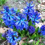 —Netherlands— Hyacinths, Gelderland