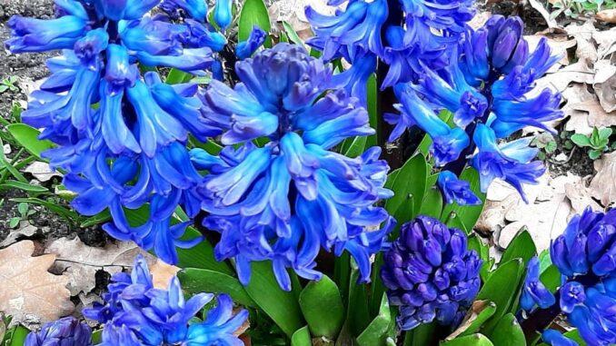 Hyacinths, Wijchen castle/Kasteel Wijchen, Gelderland