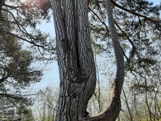Pinetree, Eerbeek, Gelderland, 04.2021