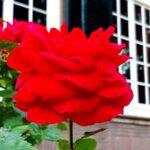 — Netherlands— Roses, country house Rhederood, Gelderland