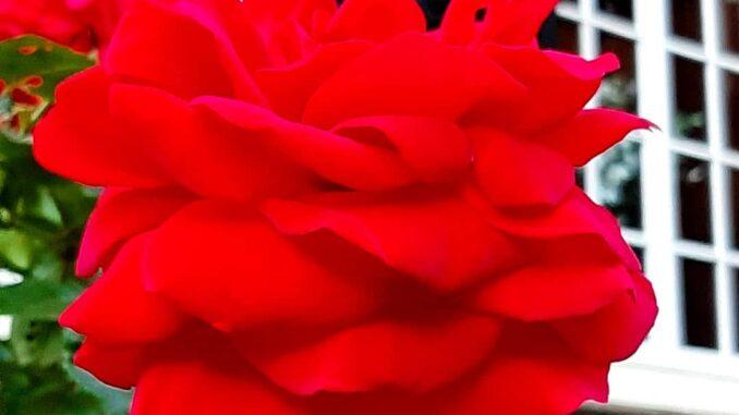 Reda roses, country house Rhederoord