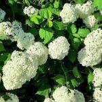 —Netherlands— White hortensia, Gelderland