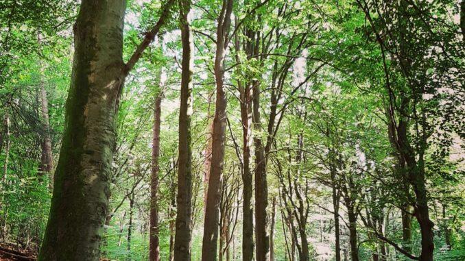 Beech trees, Veluwezoom