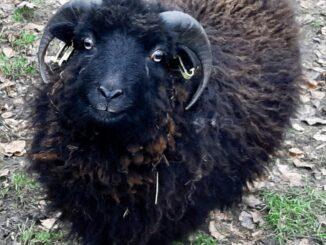 Male sheep, Veluwezoom