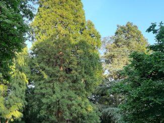 Sequoia, park Hartestein, Oosterbeek
