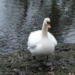A swan in Sonsbeek