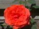 Red rose, Velp
